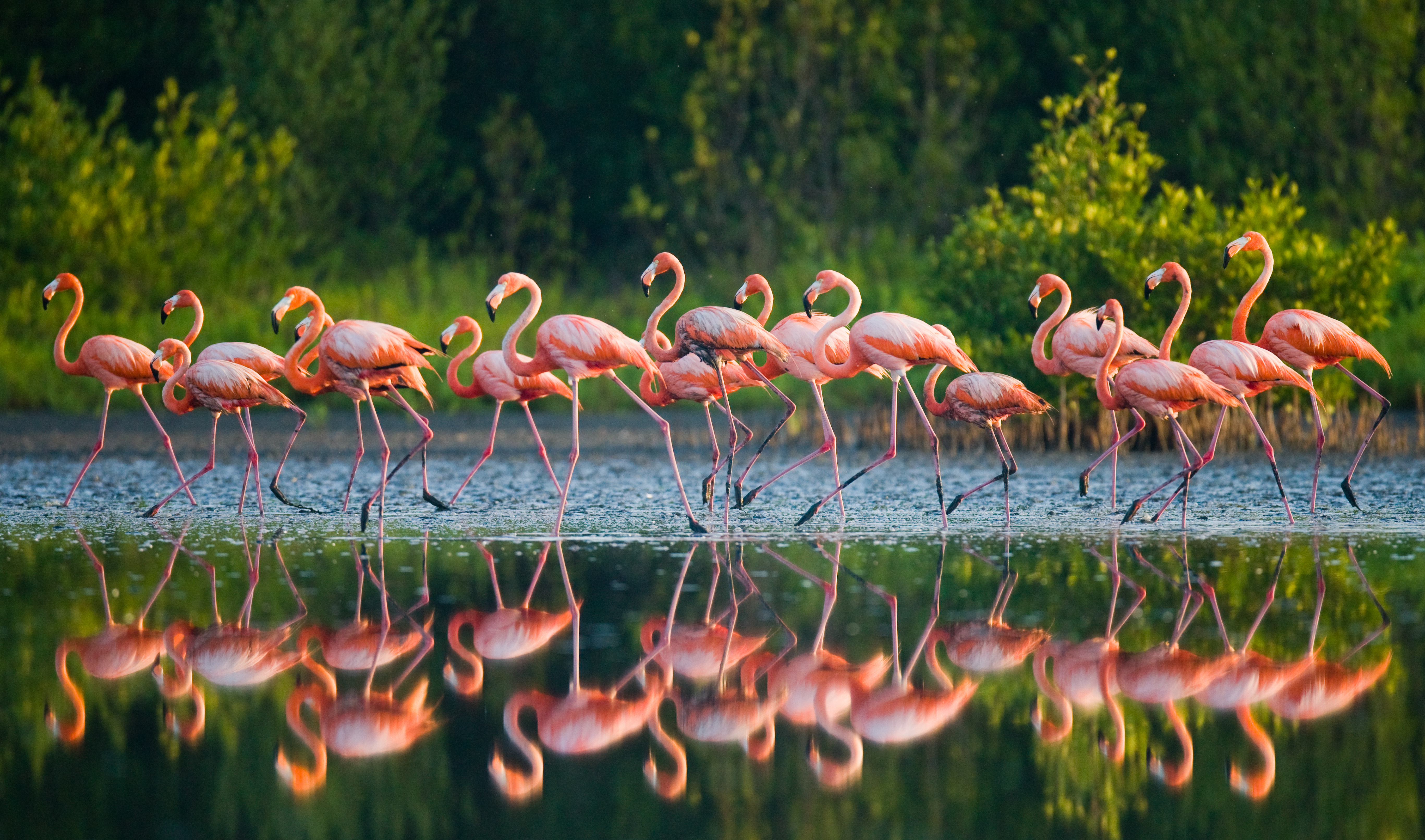 Flamingos standing in water with reflection - AdobeStock_92614881