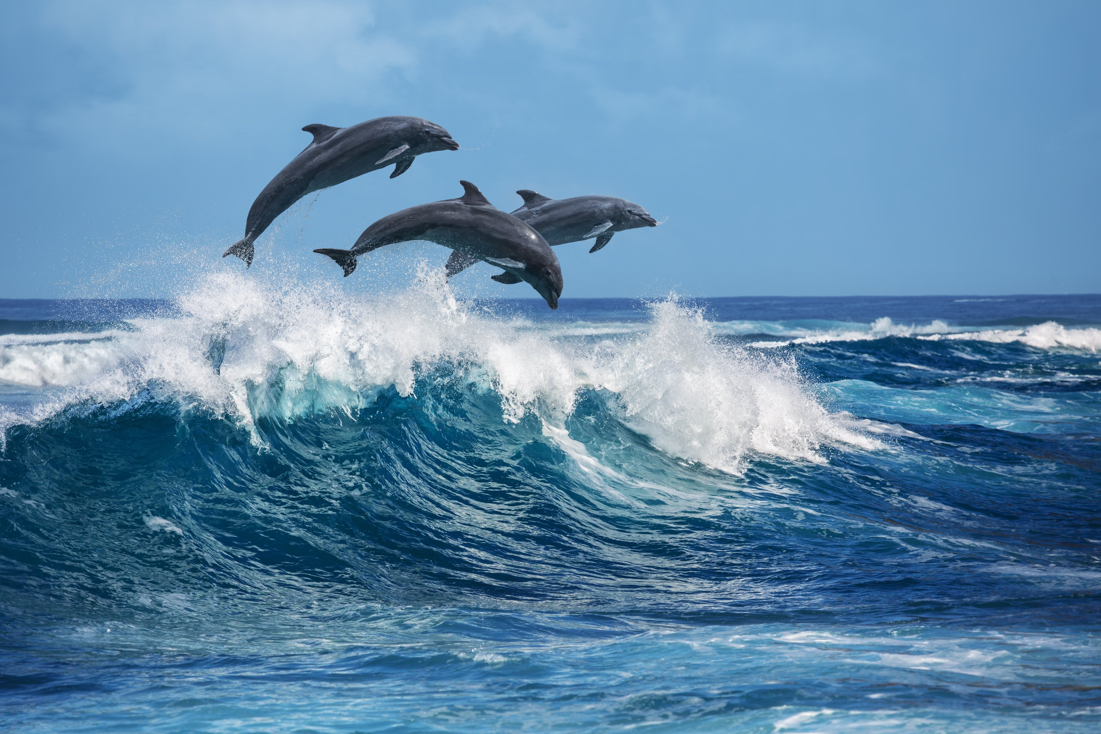 Playful dolphins jumping over breaking waves